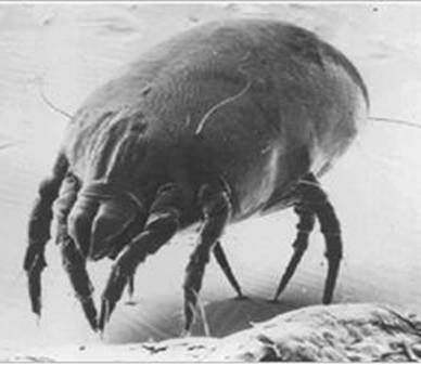 Ácaro Dermatophagoides pteronyssinus