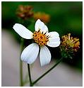 Flor de Bidens Pilosa