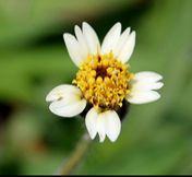 Flor de Tridax procumbens (Romerillo)