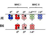 Respuestas T CD4+ alogénicas
