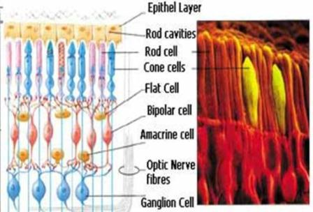 retinal-anatomy