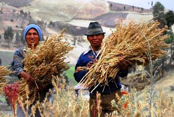 Cultivo de la quinua en Ecuador. Imagen: Wikipedia