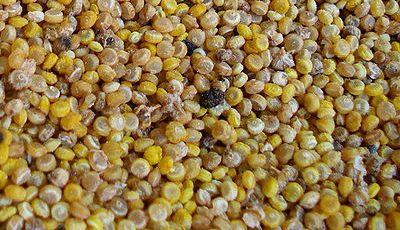 Granos de quinua. Imagen: Wikipedia