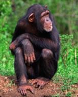 Chimpance. Fuente: CDC