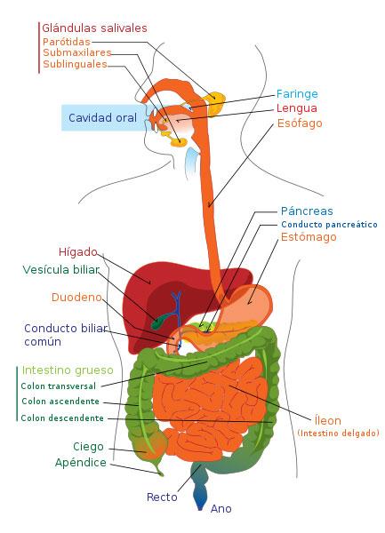 Sistema digestivo. Imagen: Wikipedia